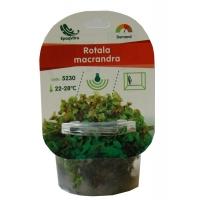 Planta Naturala Acvariu Rotala Macranda Green