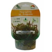 Planta Naturala Acvariu Hygrophila sp. Araguaia