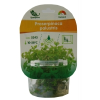 Planta naturala acvariu Proserpinaca palustris