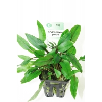 Planta Naturala Acvariu Cryptocoryne Petchii