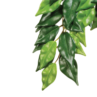 Ficus Large