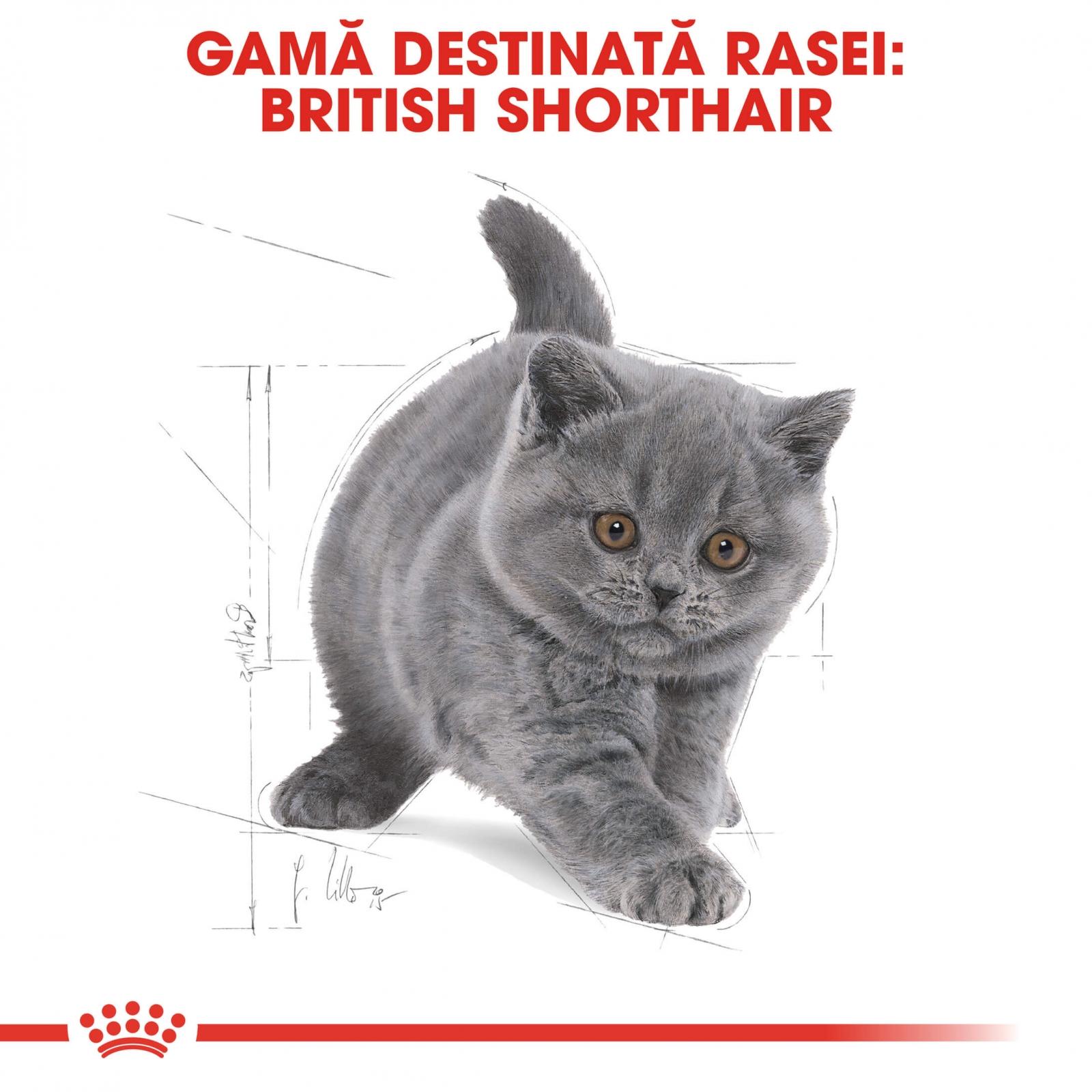 royal canin british shorthair kitten 10 kg hrana pisici. Black Bedroom Furniture Sets. Home Design Ideas
