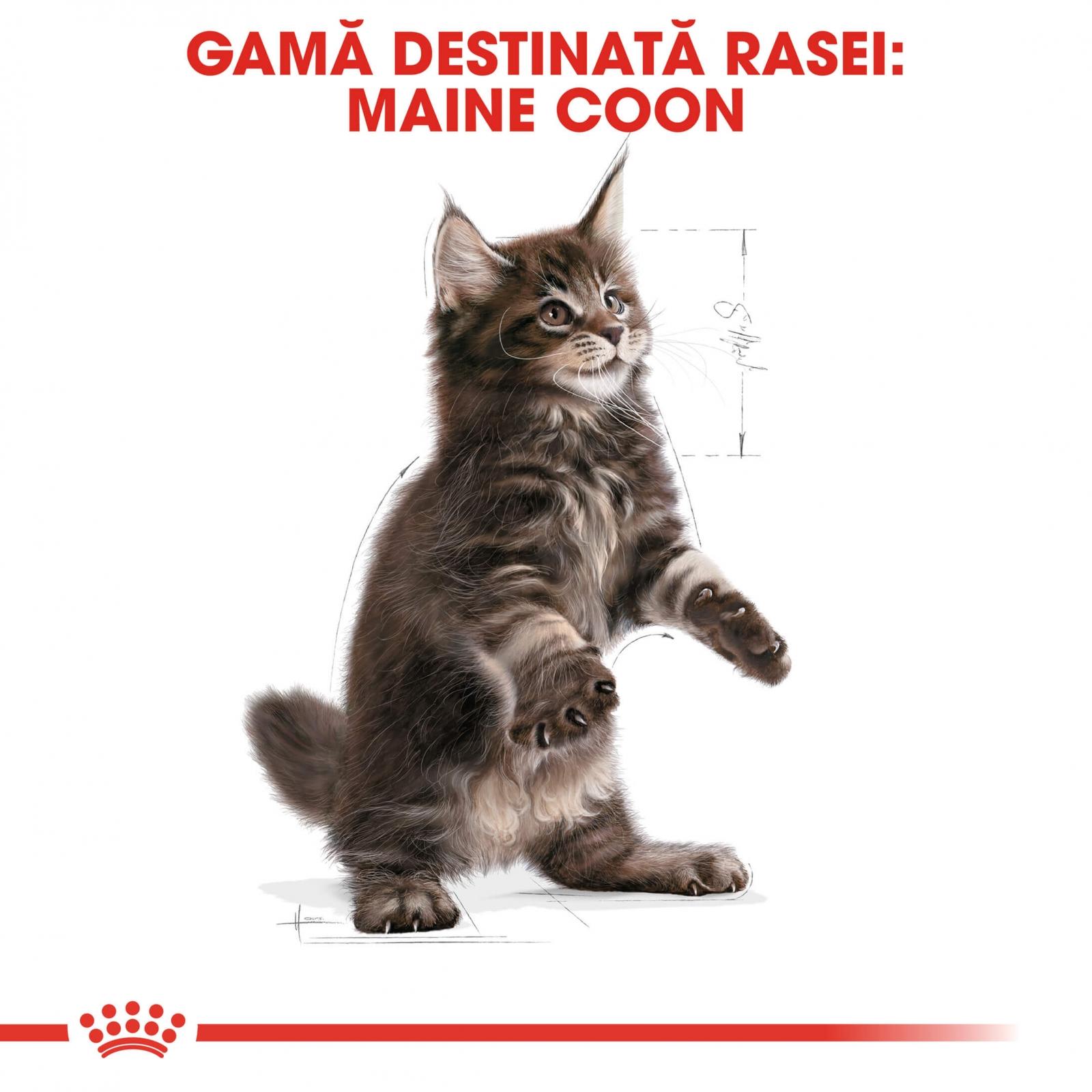 royal canin maine coon kitten 10 kg hrna pisici. Black Bedroom Furniture Sets. Home Design Ideas